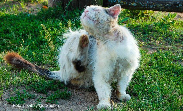 Katze zittert wegen Parasitenbefall