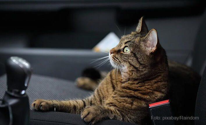 Katze ehchelt beim Autofahren