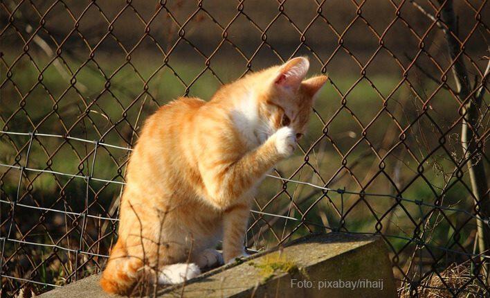 Katze hustet wegen Reizstoffe oder Allergie