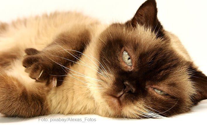 Katze mit Diabetis