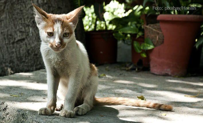 Giardien bei Katzen