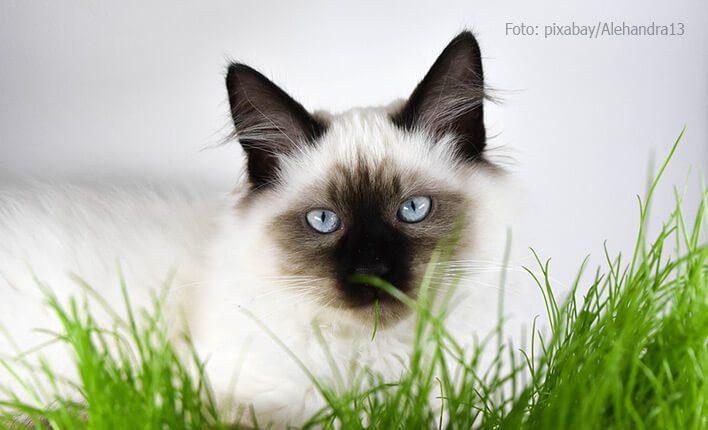 Darstellung von Katzengras